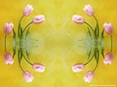 tuliperose.jpg
